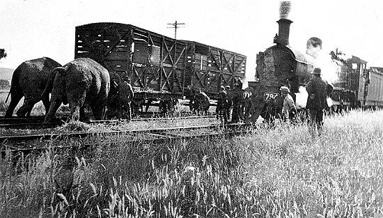 Elephants moving derailed circus train, Henty Station, Victoria in the 1920s