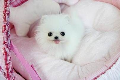 teacup white Pomeranian puppy love ravens take me home now