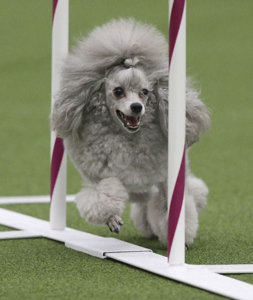 Rugby Dog Agility Show: Best 25+ Border Collie Poodle Mix Ideas On Pinterest