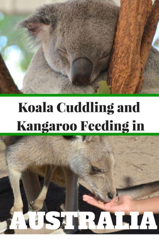 Koala Cuddling and Kangaroo Feeding at Lone Pine Koala Sanctuary near Brisbane with Kids | Guide and tips to visiting the largest Koala Sanctuary in the world | Australia with kids