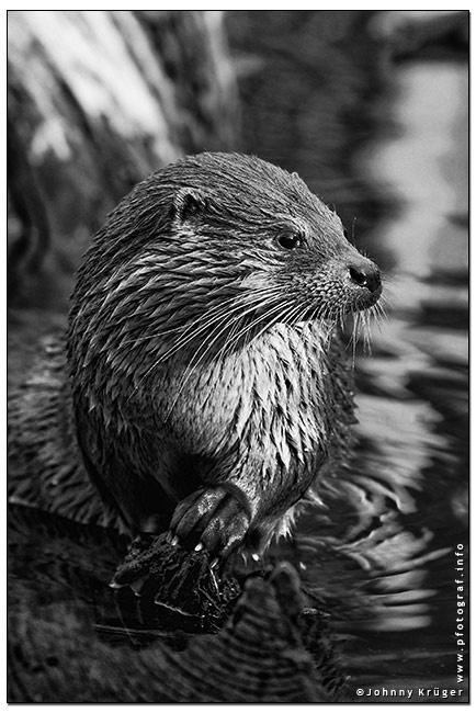 Arbeiten mit Otter. u.A. Arbeiten für den Tierkalender 2014 - Works for the animal calendar 2014. Copyright Johnny Krueger - www.pfotograf.info