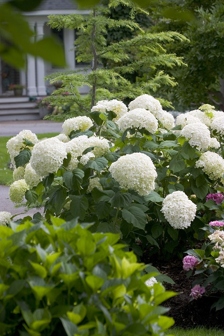 Everything you love about 'Annabelle' and more! Extra-large flowers and extra-strong stems make native Incrediball® smooth hydrangea (Hydrangea arborescens) stand above traditional varieties.