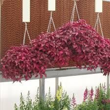 Image result for chicken gizzard plant