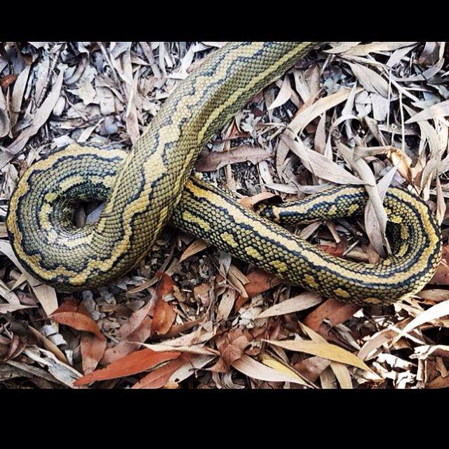 Facebook @elitesnakecatchingservices   www.brisbane-snake-catcher.com.au