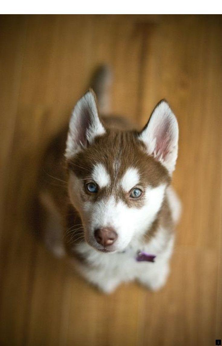 Brown Eyed Husky Siberian Husky Puppies Husky Husky Puppy