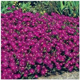 Purple ice plant ground cover buy garden plants online for Ground cover plant with purple flowers