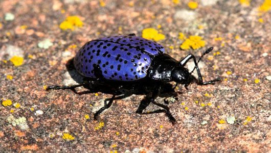 Colorado Arts & Sciences Magazine » The curious color of the blue fungus beetle