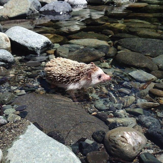 Hedgehog on a hike