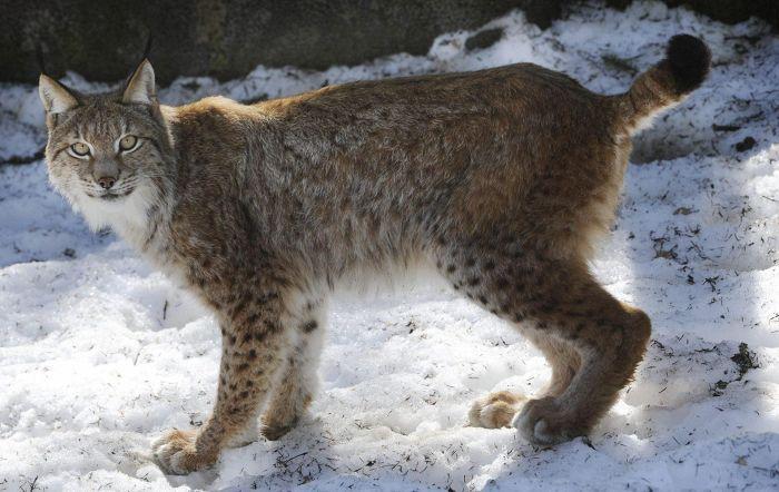 Ilves Ähtärin eläinpuistossa 2011.