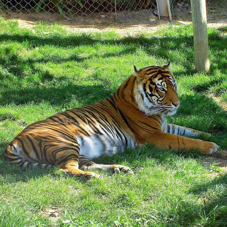 Siberian Tiger  Lisbon Zoo. #tiger #siberiantiger #tigre #tigredasiberia #tigresiberiano #tigersofinstagram #instatiger #lovetigers #savetigers #feline #animallover #jardimzoologicodelisboa #jardimzoologico #zoo #lisbonzoo #lisboa #lisbon #lisbonne #lissabon #lisbona #Лиссабон #里斯本 #リスボン #instalisboa #instalisbon #visitlisboa #visitlisbon #visitportugal #portugal #walkinginlisbon