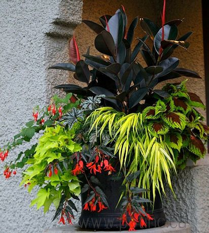 Red rubber plant, coleus, Japanese hak grass, begonia Bonfire Choc Red, lime sweet potato, begonia Gryphon, fuchsia