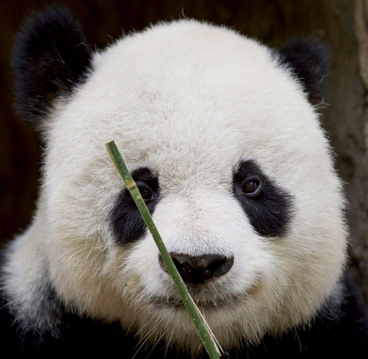 Gao Gao up close and personal by Mollie Rivera | What a face! at 26 he still looks like a young panda.