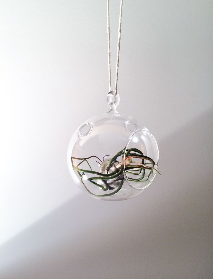 A Hanging Glass Globe.  Create a miniature universe with your air plants.   Air plants also called tillandsias, get the majority of their nutrients from the air. They are the perfect little companions for home, work or school. They require very little up-keep, and are a nice green addition to brighten any setting regardless of the season.