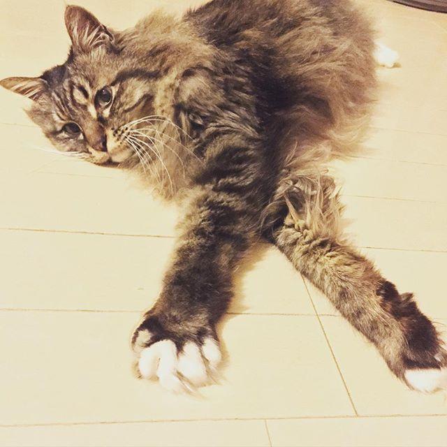 定番のハサミムシスタイル  今日は雨のせいか 食欲が微妙 でもこうして伸びて寝てるということは それほど不調ではないと思いたい #cat  #猫noriokaki2016/02/21 02:00:37