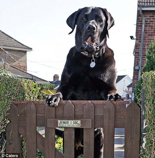 Samson - biggest dog in Britain.. Noone gets past this gate tonight...