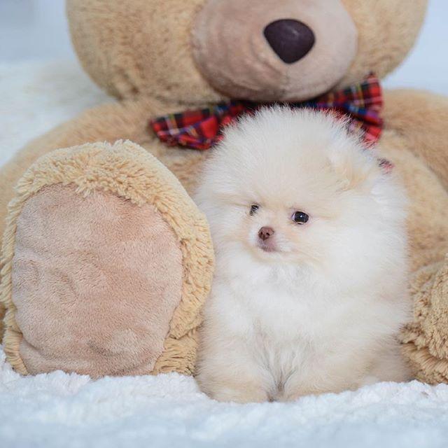 Продается  мальчик померанец, окрас крем.🐶Родился 26.07.1206🎈🎉Примерный будущий вес 2кг⚖. Родословная РКФ.Pomeranian male for sale💥#pompom#minipom#pomeranian#shpitz#bearpom#puppy#puppiespoms#puppiesforsale#щенкинапродажу#мишкабу#продажащенков#померанскийшпиц#happy#love#like#lovedog#poms#карликовыйшпиц#beautiful#москва#petstagram#cute