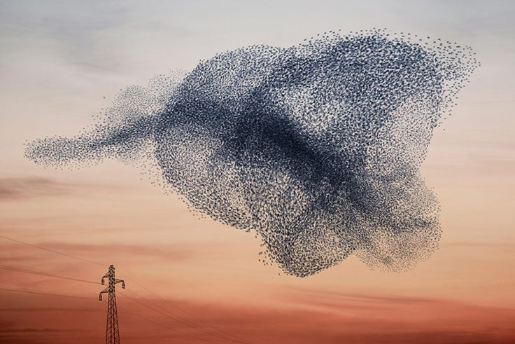 Huge flocks of up to 50,000 starlings form in areas of the UK just before sundown during mid-winter. They are known as murmurations - cycle 2