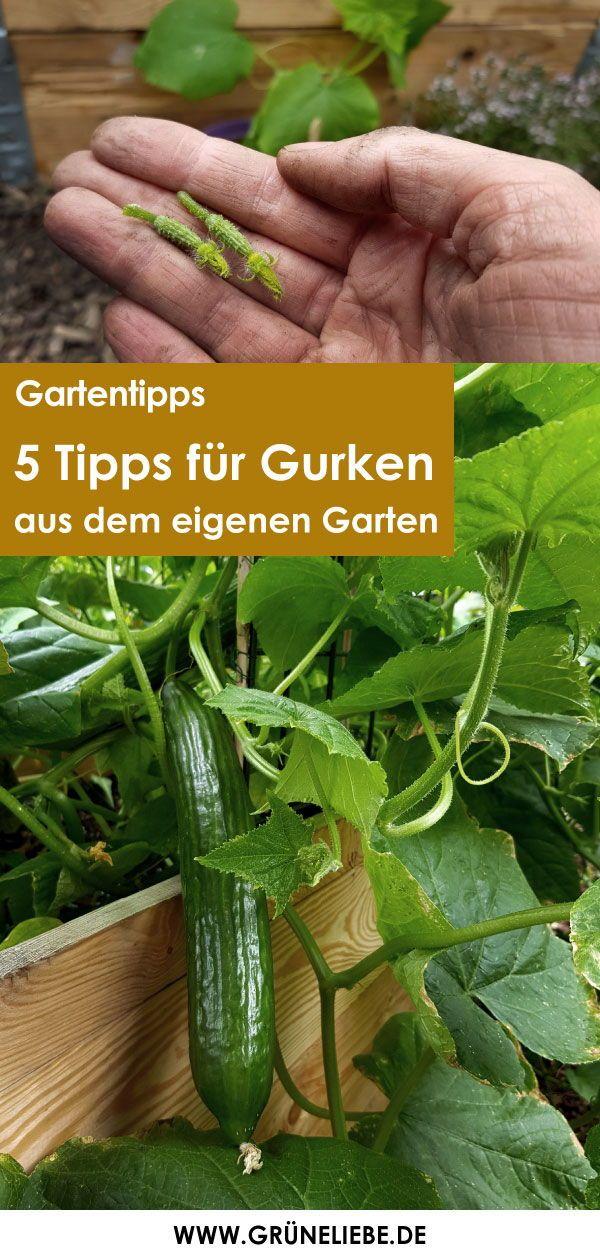 5 Tipps Fur Gurken Aus Dem Eigenen Garten Gruneliebe In 2021 Tomaten Garten Hochbeet Pflanzen Garten Anpflanzen