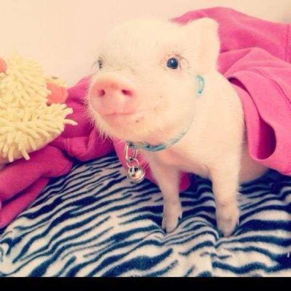 Cerdos miniatura, la nueva tendencia de mascotas en México