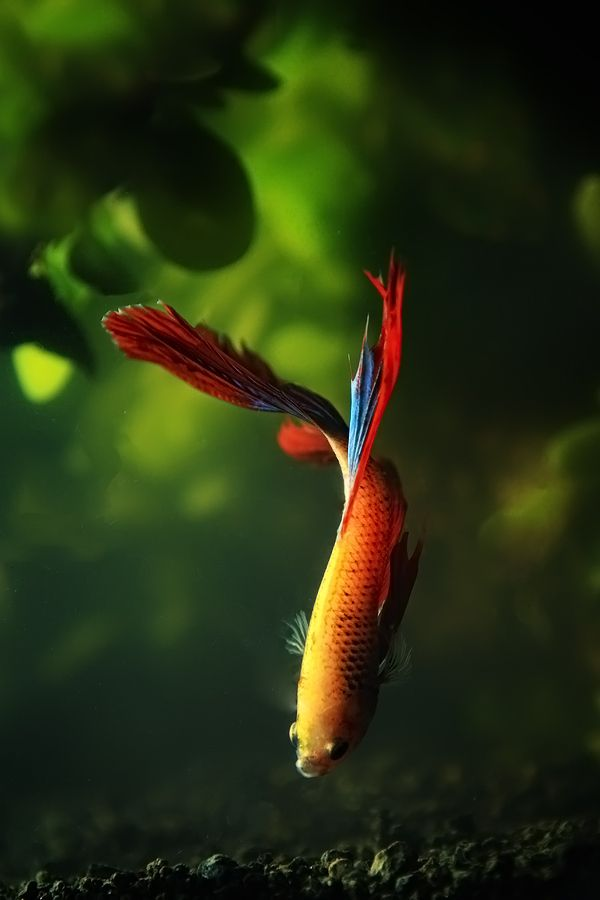 297 best images about fighting fish betta on pinterest for Cute betta fish