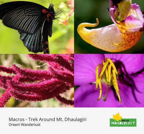 A journey of a trekker, a traveller would be incomplete without enjoying the beauty of little creatures of the nature.  They are as attractive as the mountain peaks .. sometimes even more for their colourful and incredible appearances.  A #macro journey to the #Dhaulagiri region trek #DhaulagiriBaseCamp #HiddenValley #FrenchPass at #Nepal