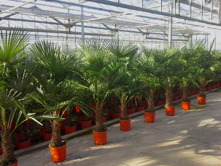 best 25+ palmier trachycarpus ideas on pinterest | bananiers
