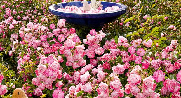 20 best images about flower carpet pink splash roses on for Easy care garden shrubs