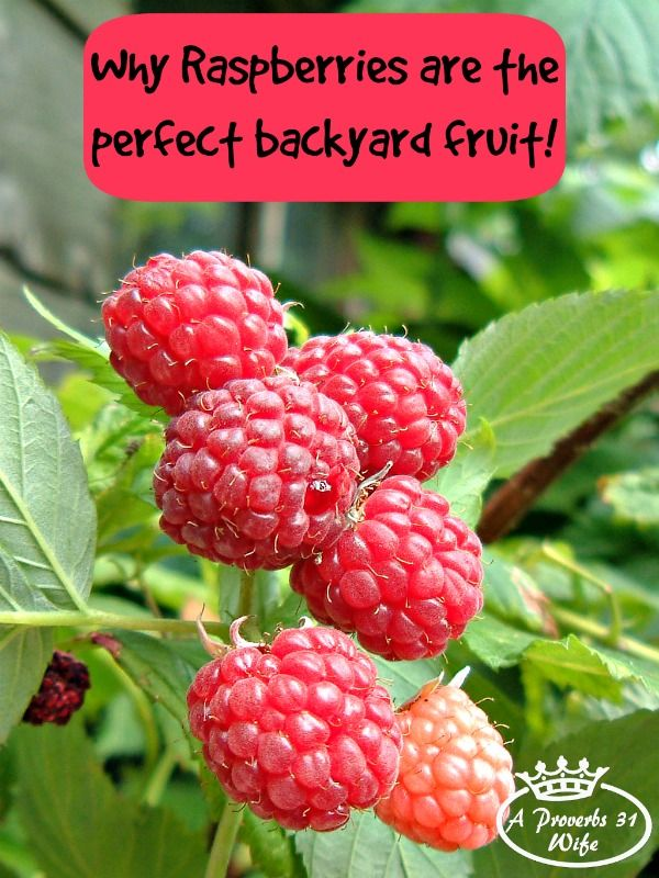 Growing raspberry bushes in our backyard is amazing!!! The plants take up more vertical space than ground space making them perfect for our small lot!
