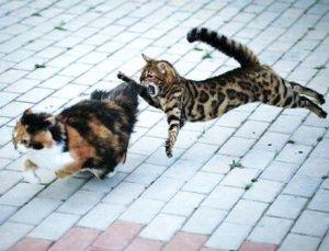 Female bengal cat temperament