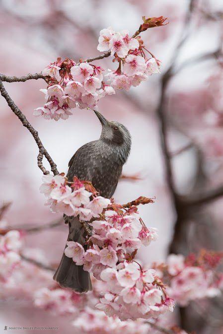 Kanzakura cherry blossom ~ Shinjuku Gyoen Park by Martin Bailey.