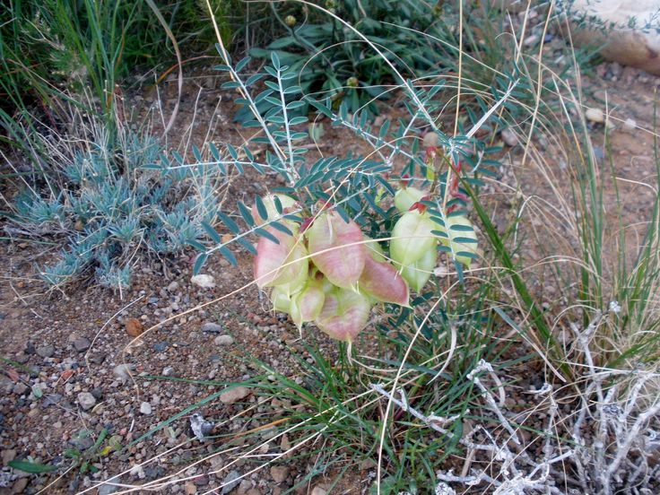 Pretty Karoo Bossie with its fairy seed pods