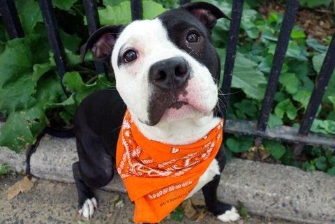 GUAPO - A1113492 - - Manhattan  TO BE DESTROYED 06/08/17  A volunteer writes: So many compliments when walking this handsome fellow! Guapo's coat shines, his tail wags, and he has perfectly positioned little 'smudges' of black on the white side of face giving him an adorably sweet look. He may be housetrained, going potty as soon as we were out the door, and while he pulls slightly on leash he's small, easily managed, and responsive to his person. Sh