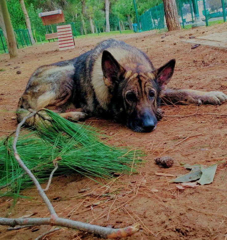 #gucci #pet #dog #GermanShepard  #צלם_יקי_צימרמן #photographer #superstar #סופרסטאר