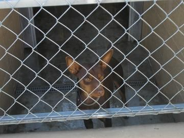 Adopt ROLO, a lovely 9y 10m Miniature Pinscher / Mix available for adoption at Petango.com.