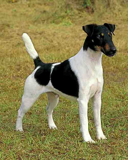 Smooth Fox Terriers  The Smooth Fox Terrier has a sleek, easy-to-maintain coat. Its sturdiness and size combined with its friendly and playful nature make it an excellent companion for children.