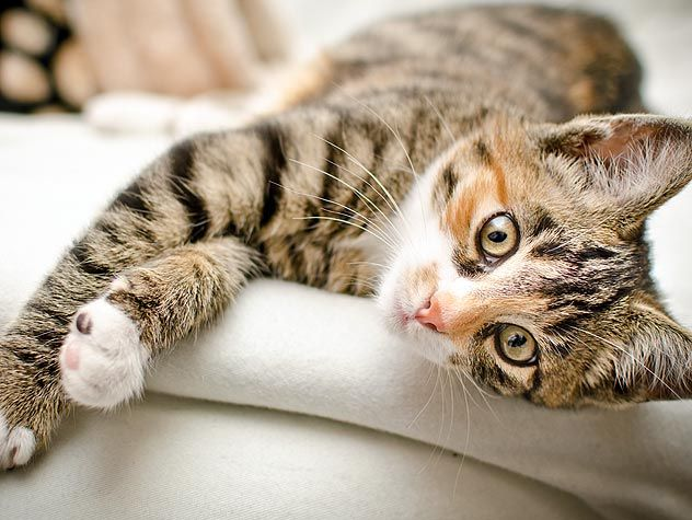 Giving your cat a massage can have many health benefits. Read these tips for giving your cat the perfect massage!