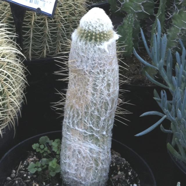 Penis Cactus 94