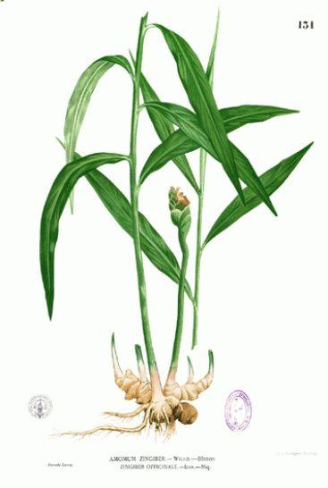 Botanical illustration of Zingiber officinaleby Francisco Manuel Blanco |source