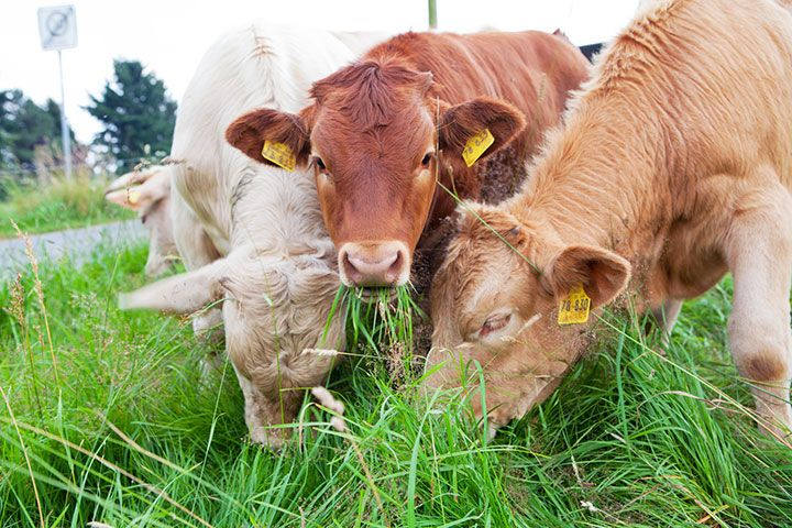 """Die """"Gefährdete Nutztierrasse des Jahres 2016 – Regionale Rinderrassen"""""""