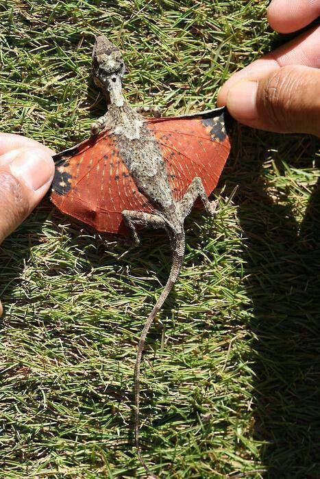 Dragon found in Indonesia.