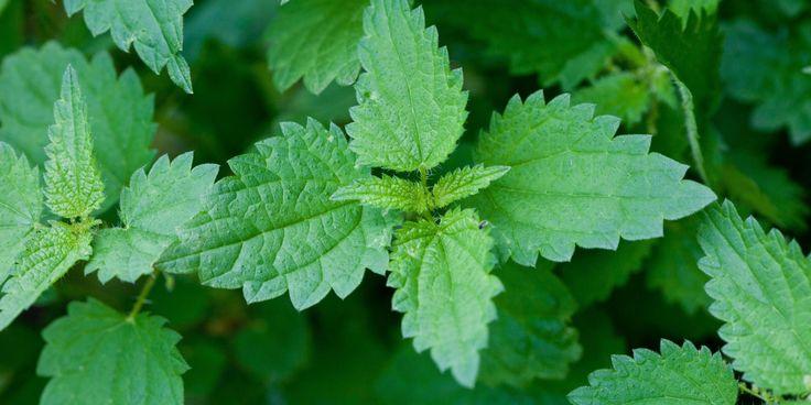 L'ortica è una pianta erbacea nota per le sue proprietà medicinali, ma poco utilizzata e odiata dall'uomo a causa delle proprietà urticanti. L'utilità della pianta è