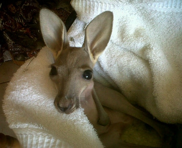 The National Zoological Gardens of South Africa lends a helping hand to an orphaned Red Kangaroo joey.: Red Kangaroos, Baby Kangaroos, National Zoology, Orphan Kangaroos, Zoology Gardens, South Africa, Help Hands, Adorable Baby, Kangaroos Joey