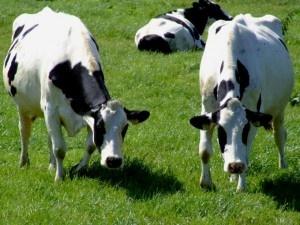 Acontinuación presentamos algunas de las enfermedades mas comunes que presentan las vacas: El lóbado Es llamado lóbado vulgarmente, pero es la enfermedad de carbunco sintomático, y gangrena efisematosa-gaseosa, que es infecto-contagiosa, del ganado vacuno especialmente. Esta enfermedad solo ataca a los animales menores de tres años y muy particularmente a los terneros. Actualmente, está muy extendido tanto en ...