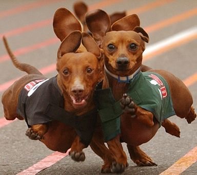 wiener dog race @Niki Jones i don't think Shadow & Elvis looked this good in their race!!!  LMAO!!
