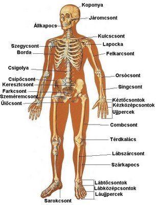 testünk felépítése - Google Search