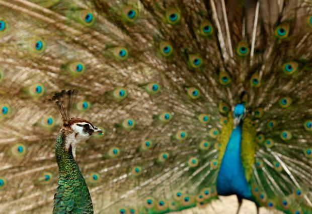 "What makes the peacock's feathers so brilliant? Microscopic ""crystal-like structures"" that reflect different wavelengths of light depending on how they're spaced, resulting in bright fluorescent colors. Hummingbirds and shimmering butterflies have mastered a similar visual effect on their own wings.   9 Feathery Facts About Peacocks 