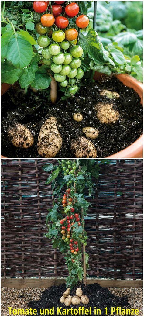 Trend Eine einzigartige Pflanze Die TomTato ist Tomate und Kartoffel in einer Pflanze F r