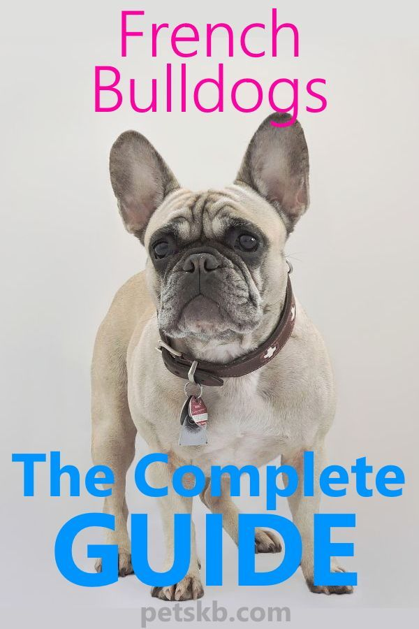 French Bulldog Complete Guide And Breed Profile French Bulldog