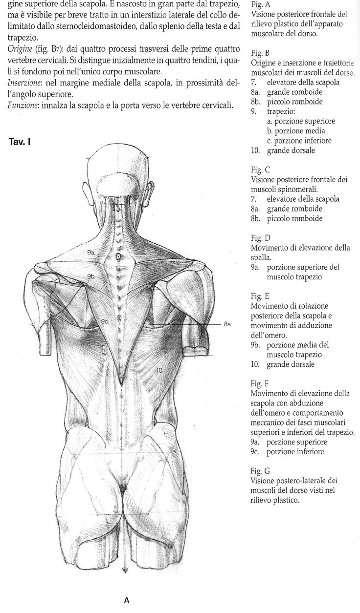 242 best Anatomie images on Pinterest   Anatomy, Human anatomy and Draw