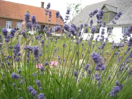 The house seen through lavender, by the sofa in the garden, Æblegaarden B&B, Langeland, Denmark, www.aeblegaarden.dk